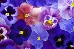 Pansy Pansies Flowers Pansies Flower Meanings
