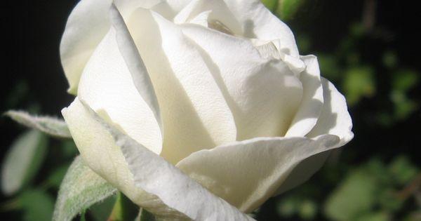 Cu l es el significado de las rosas blancas b squeda - Significado rosas blancas ...