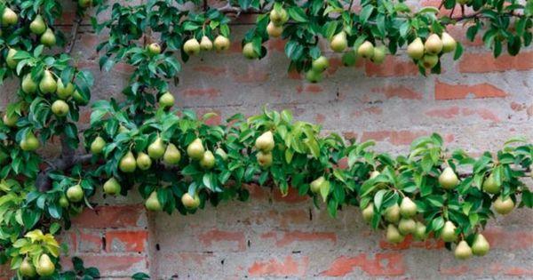 spalierobst anzubauen ist eine herausforderung für jeden gärtner, Terrassen ideen
