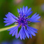 Blue Cornflower Violet Flower Amazing Flowers Flowers