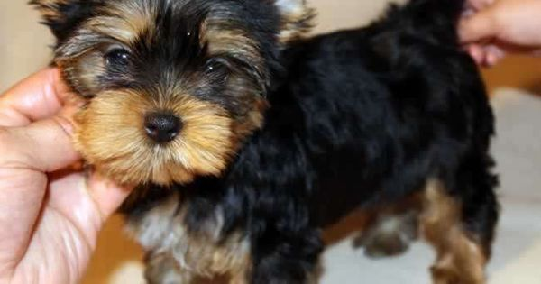 Carrie Teacup Yorkie Puppy She Most Likely Will Be