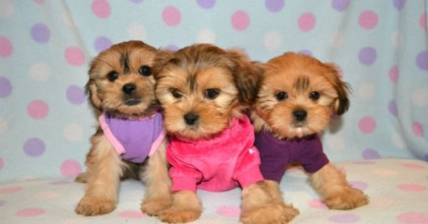Puppies For Sale Details And Costs Teacup Puppies Puppies Cute Animals