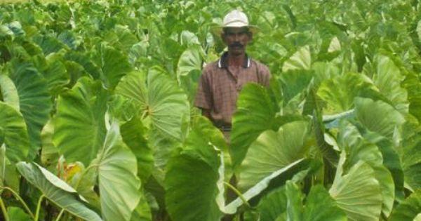 Dasheen or Taro: One of the tastiest plants in Indian ...
