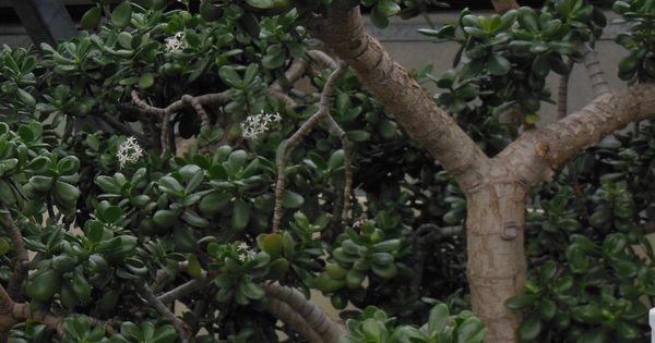 Biggest Jade Tree I 39 Ve Ever Seen Jade Plants