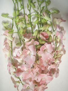 Blush Dendrobium Orchids Wholesale Flowers Dendrobium Orchids Blush Flowers