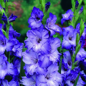 Gladioli Blue Mountain With Images Gladiolus Flower Bulb Flowers Blue Flowers Garden