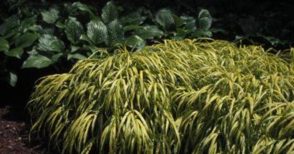 Shade grass ornamental grasses pinterest shade grass for Shade decorative grass