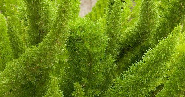 Foxtail Fern Asparagus Densiflorus Myers Hardiness