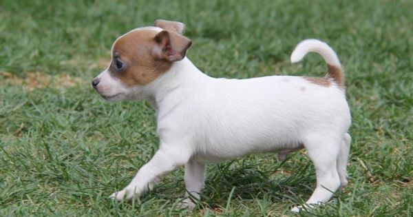 Chihuahua Jack Russell Mix Puppies For Sale Chihuahua Mix Puppies For Sale In Pa Chihuahua Mix Puppies Pitbull Chihuahua Mix Chihuahua Mix