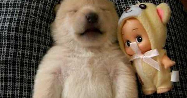 ▶ shiba inu white puppy - YouTube