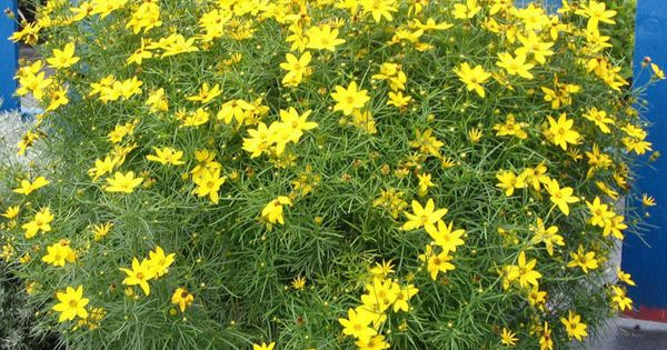 Zagreb Coreopsis Very Hearty And They Spread Like
