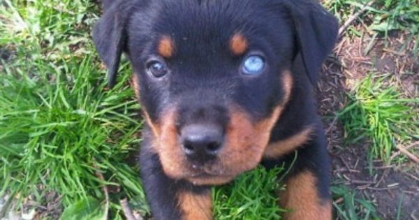 Rottweiler Pictures And Photos 1 This Dog Has One Blue Eye And One Brown One Rottweiler Puppies Rottweiler Facts Rottweiler Dog
