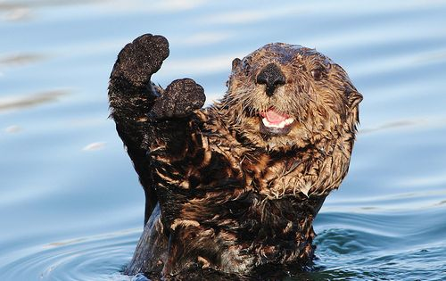 14 Surprising Facts About Sea Otters: widely considered the cutest animal in