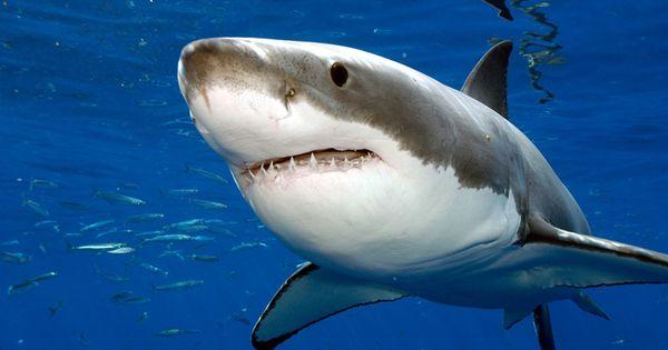 Article Natgeo Quel Super Predateur A Tue Le Grand Requin Blanc Grand Requin Blanc Photos De Requin Animales