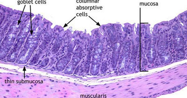 Digestive Large Intestine Histology Slides Medical Knowledge