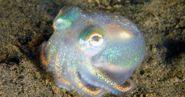 Opalpus ~ I'm not sure what kind of octopus this is, but