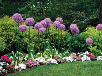 Globemaster Allium Bulbs Urban Farmer Seeds Gorgeous Gardens Allium Flowers Bulb Flowers