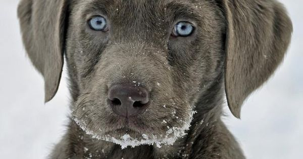 Silver Lab puppy.... this the breed of dog i want!! :D