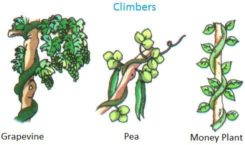 Climbers Grapevine Pea Money Plant In 2020 Plants Kindergarten Climber Plants Creepers Plants