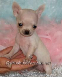 Micro Mini Pocket Chihuahua Teacup Dollface Chihuahua Puppy