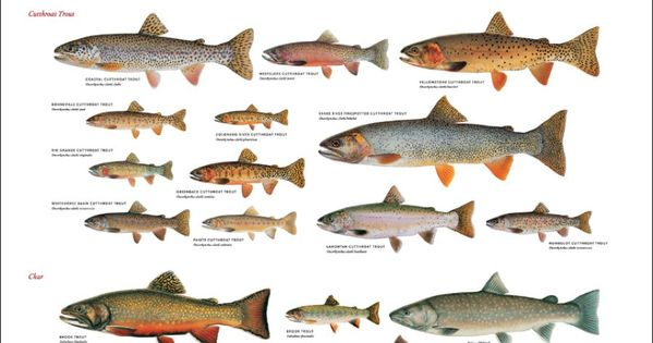 Trout of north america i grew up in michigan fishing for Trout fishing in alabama