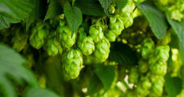 Hops For Zone 8 Gardens Can You Grow Hops In Zone 8 Growing A Hops Plant Is An Obvious Next Step For Every Home Brewe Hops Plant Fast Growing Trees Hops Vine
