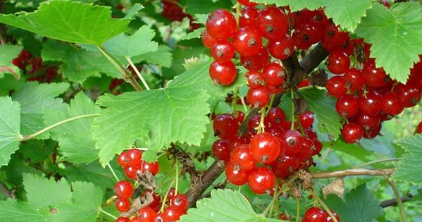 Red Currant Ribes Spp Sour Edible Plants Berries And