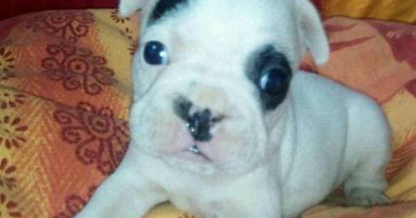 Franzosische Bulldoggen Welpen In Bayern Straubing Doggen Und