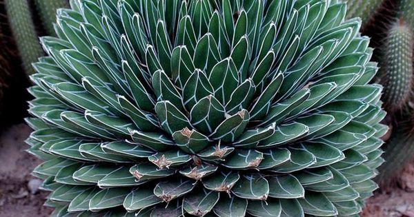 25 exemplos da bel ssima geometria da natureza cactos for Suculentas santiago