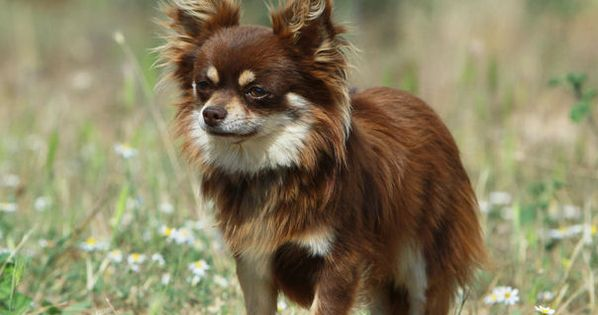 Chihuahua Yahoo Search Results Chihuahua Dogs Dog Breeds Mini Dogs Breeds
