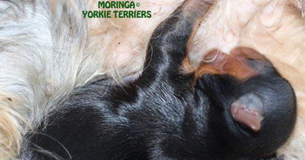 Yorkie Terrier Puppies Yorkie Puppies For Sale Moringa Yorkie Teacups Yorkshire Terriers Grooming Products South Yorkie Puppy For Sale Yorkie Terrier Yorkie