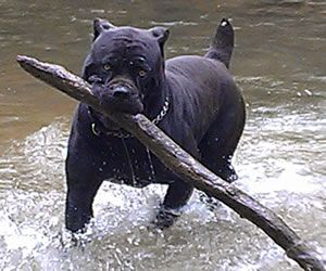 Pin By Kristin Colombo On Incredible Pets Cane Corso Cane Corso Dog Corso Dog