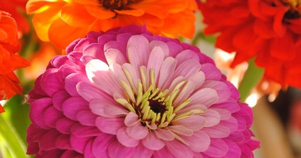 zinnias... Love the color they add to the garden , One of