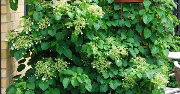 Climbing Hydrangea In Pots Makes A Great Privacy Screen