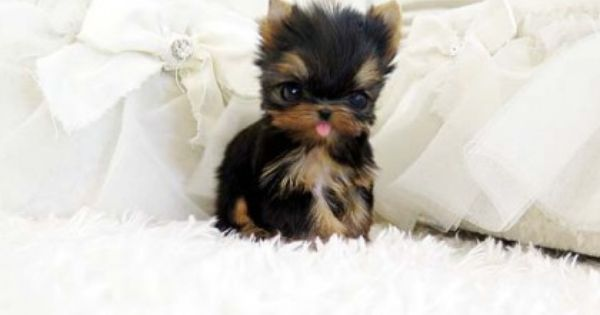 Tea Cup Yorkie looking for some fun! | Cute Puppy Pictures ...