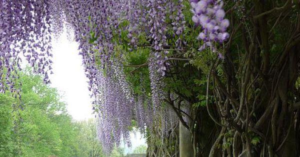 Biltmore Estate gardens, NC biltmoreestate biltmore asheville northcarolina wisteria garden