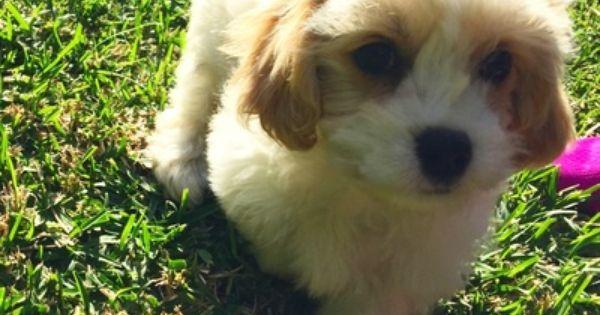 Maltalier Cavapoo Puppies Doggy Pup