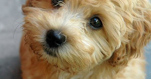 Maltipoo- small dogs are so cute!