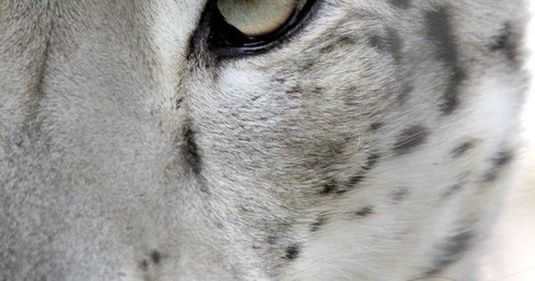 Snow Leopard spirithoods inneranimal snowleopard mostbeautiful beauty freespirit