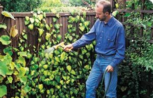 How To Plant Ivy To Grow Up A Fence Or Wall Ivy Wall Plants