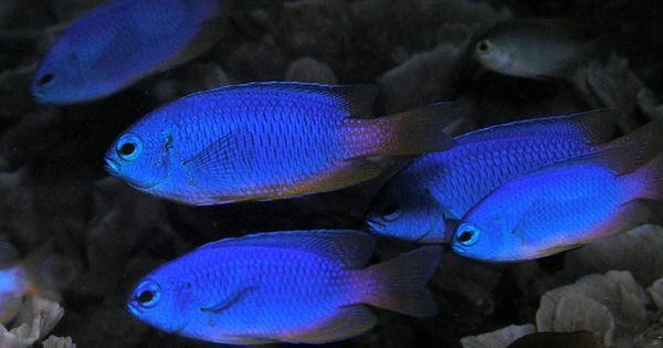 All damselfish can be considered reef safe sometimes for Aggressive saltwater fish