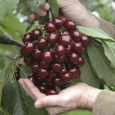 Stella Cherry Is Self Fertile So No Need For A Second Cherry Tree To Fruit Garden Patio Fruit Trees Growing Fruit Trees