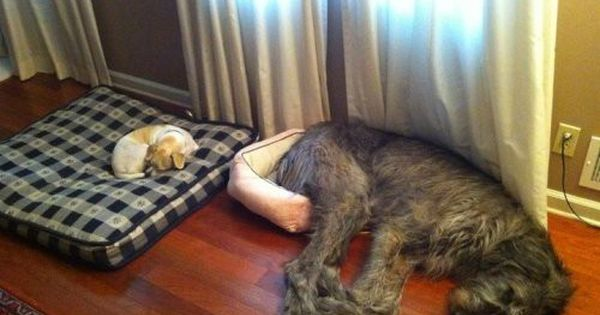 Hahaha! The little dog on the big bed and the big dog