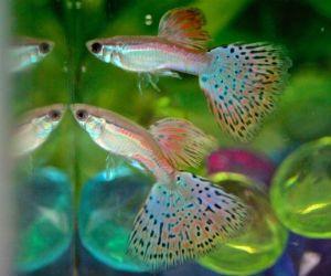 Pin On Fish Guppy