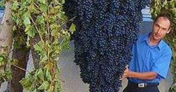 Largest Cluster Of Grapes In The World In Palestine