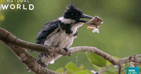 New Party Member Tags Bird Fish Cold Shake Shaking Wash Shake It Off Kingfisher Bbc Earth Natural World Drying Off Animal Study Bird Bird Gif