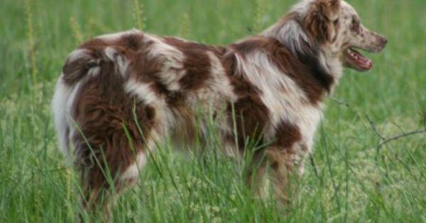 Beautiful Australian Shepherd Dogs Red Merle Australian