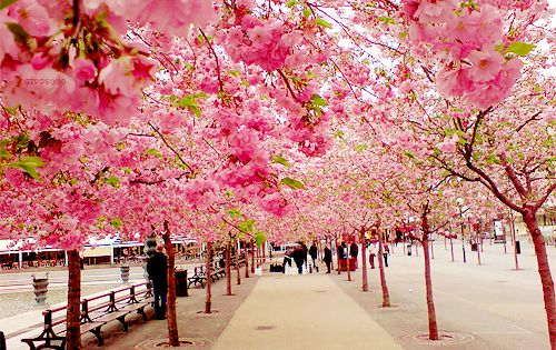 "millie says, ""pink trees are cool"" Cherry Blossom Walk, Sakura, Japan"