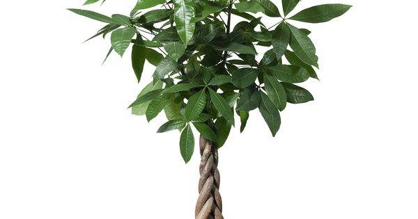 pachira aquatica potted plant ikea livingspaces secret garden pinterest potted plants. Black Bedroom Furniture Sets. Home Design Ideas