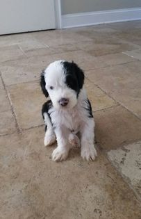 Sheepadoodle Puppy For Sale In Tampa Fl Adn 67375 On Puppyfinder